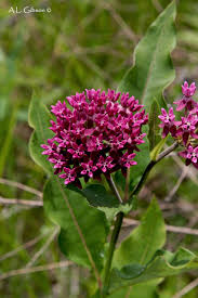 plants native to illinois the buckeye botanist a guide to the milkweeds of ohio