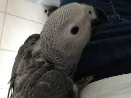 Suche Zu Kaufen Papageien Und Papageienarten Kaufen U0026 Verkaufen Bei Deinetierwelt