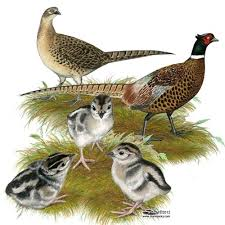 best 25 pheasants for sale ideas on pretty birds