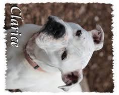 boxer dog rescue view ad bull boxer dog for adoption georgia griffin usa