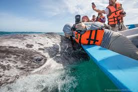 gray whale baby boom more than 1 000 newborns counted in mexico