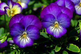 les fleurs comestibles en cuisine les fleurs comestibles pour une cuisine colorée et pleine de