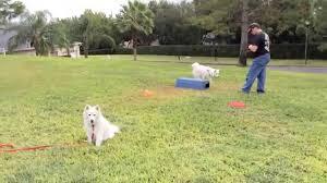 american eskimo dog training training american eskimos youtube