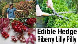 native edible plants australia edible bushfood hedge riberry lilly pilly syzygium luehmanii