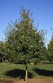 douglas maple acer glabrum pacific northwest native tree 15 best trees images on pinterest landscaping ideas garden