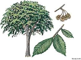 american elm dictionary definition american elm defined