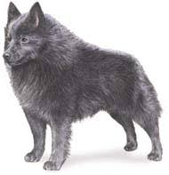 belgian sheepdog breeders new york schipperke puppies for sale shake a paw in hicksville ny