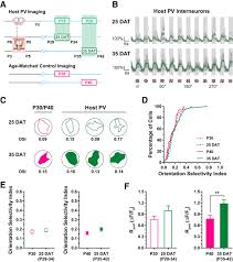 What Is Interneuron Contribution Of Innate Cortical Mechanisms To The Maturation Of