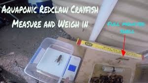 farming aquaponic crayfish part 1 small redclaw crayfish