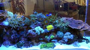 whats new coral collectors quality propagated coral hawk fish home coral aqauarium home reef tank
