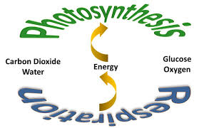 photosynthesisrespirationjpg altogether the complementary reactions of photosynthesis and cellular respiration