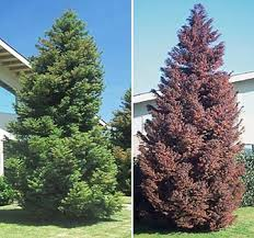 add interest to your landscape with a japanese plume cedar big