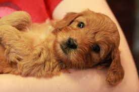 goldendoodle puppy treats goldendoodle puppies for sale goldendoodle breeder ny