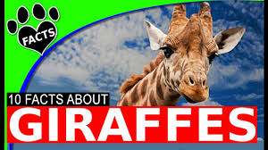 top 10 giraffe facts and information for kids world u0027s tallest