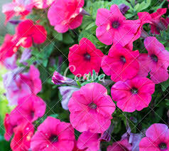 petunia flowers petunia flowers photos by canva