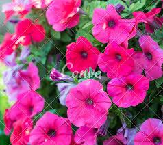 petunia flowers petunia flowers photos by canva