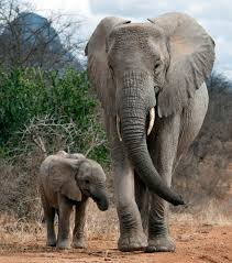 incredibly moment elephants welcome baby to the herd by
