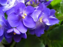 Birth Flower Of January - birth flowers