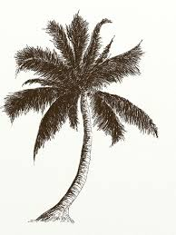 drawn palm tree coconut tree pencil and in color drawn palm tree