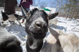 photography is hard when a goat keeps photobombing you made in maine