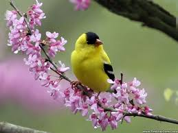 desktop wallpapers animals backgrounds goldfinch on a redbud