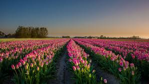 Netherlands Tulip Fields Picture Netherlands Tulips Pink Color Fields Flowers Sunrises And