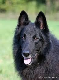 belgian shepherd 4 types index of dog breeds belgian shepherd dog images full