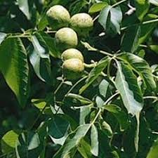 buy fruit hedging and ornamental trees from uk supplier
