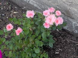 book review growing roses in calgary flowery prose