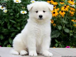 american eskimo dog price in kolkata the 25 best samoyed puppies for sale ideas on pinterest samoyed