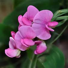 sweet peas flowers sweet peas seeds everlasting sweet pea pink pearl flower seed