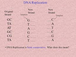 introduction dna replication chromosomes in the original
