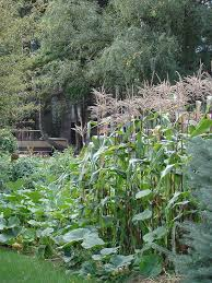 growing corn bonnie plants