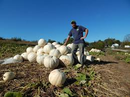 pumpkin patch ghost pumpkins are a draw for kids news sports