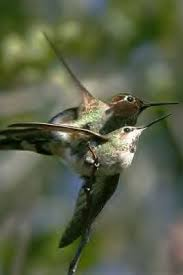 hummingbirds mating and nesting you will enjoy this page for sure