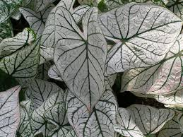 candidum caladium bulbs