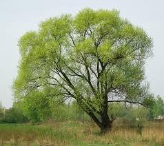 black willow tree wholesale for sale