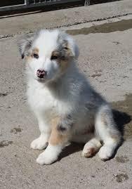australian shepherd puppy 4 months australian shepherd puppy blue merle for sale bridgwater
