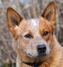 skiing with australian shepherd australian cattle dog breed information history health pictures