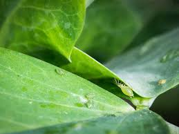 aphid control how to get rid of aphids saga