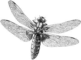 royalty free images dragonfly the graphics
