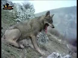 imagenes sorprendentes de lobos kurtların muhteşem avı la mayoría increíble lobos vs ataque caza