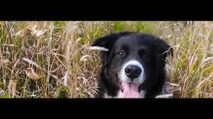 belgian shepherd or border collie kale u0027s awesome border collie day youtube