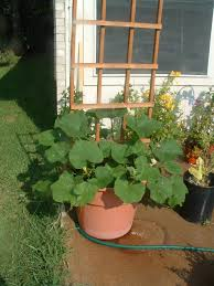 garden update 3 giii normous butternut squash plant zippy u0027s garden