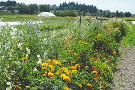 seattle flowers planning your annual cut flower garden seattle farm company