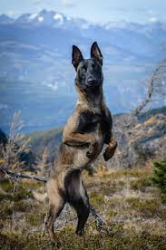 belgian shepherd video best 10 belgian malinois ideas on pinterest belgian malinois