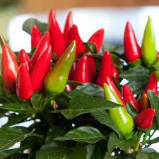 salsa ornamental pepper