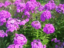 phlox flower phlox