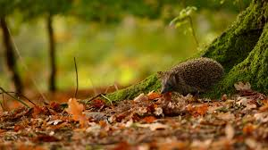 cute fall wallpaper hd hedgehog hd wallpaper this wallpaper