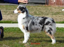 australian shepherd kalamazoo ga ga ch thornapple i u0027m so star thornapple australian